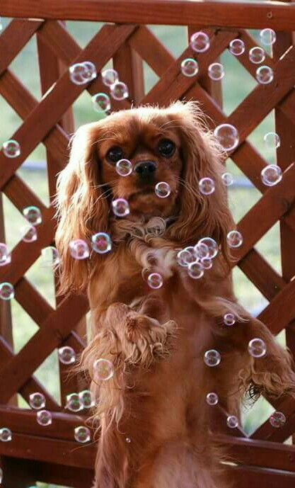 Cavalier and bubbles