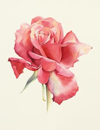 Rose, Botanical Illustration, Cheryl Wilbraham, SAA Professional Members' Galleries