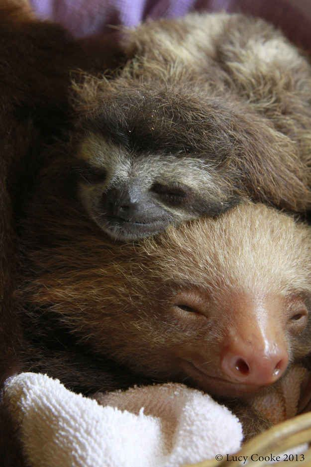 Like sleepy sloths. | The 29 Cutest Sloths That Ever Slothed
