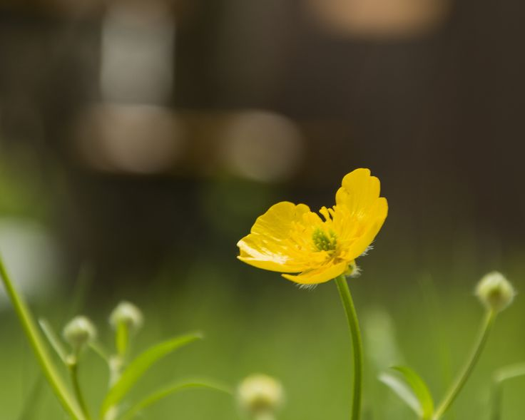 Creeping Buttercup by Gabriela Villagrán Backman on 500px