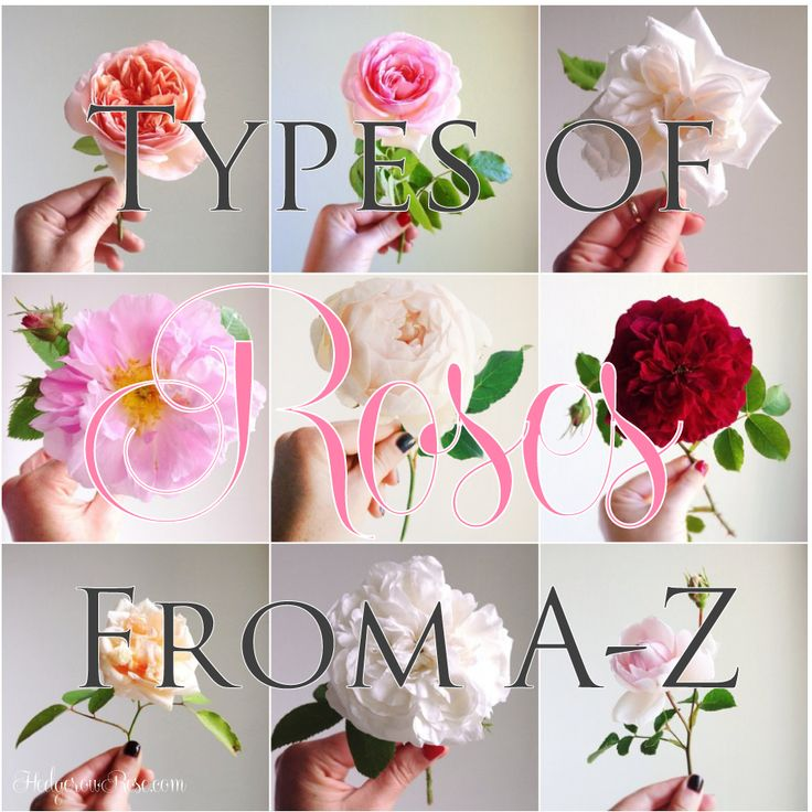 Types-of-Roses-From-A-Z-via-Hedgerow-Rose