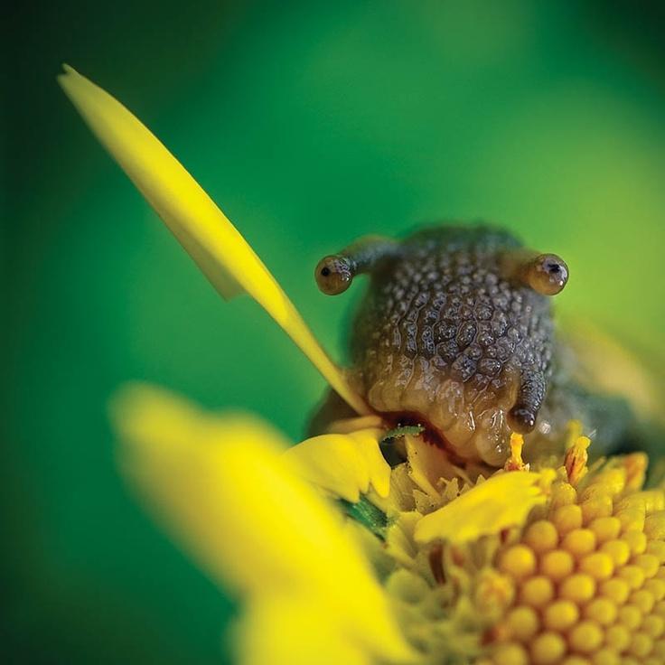 Snail eating flower. [photographer_Janusz Cedrowicz, www.janoo.pl.)
