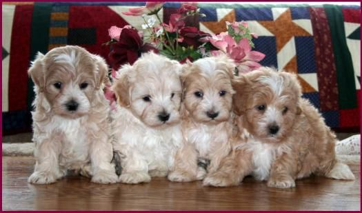 444 Best Images About Maltipoo On Pinterest Poodles Maltese Puppies And Poodle Mix