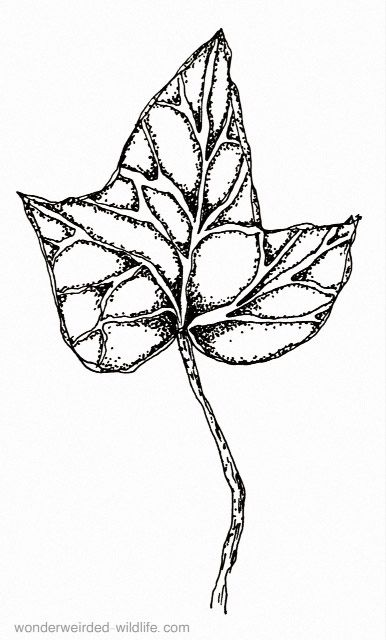 Ivy Drawings English For Our Birth Flowers Of The Month January Clipart Pen And Ink Climbing Outline Drawing Inspiration Graphic Design