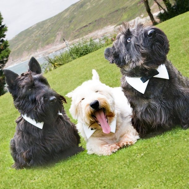 A scottie and two west highland white terriers at a wedding day at Polhawn Fort in Cornwall