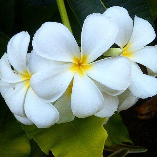 More flowers than leaves #plumeria #obtusa #brisbane #yards #courtyard #tree