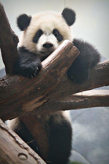 pandasneedourlove: © Kia Lynn Mei Lun at Zoo Atlanta on April 5, 2014