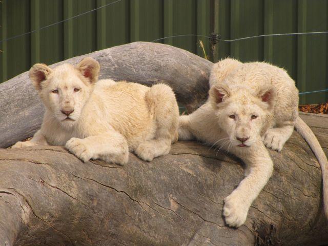 1000+ ideas about Tigre De Tasmanie on Pinterest | Tigers ...