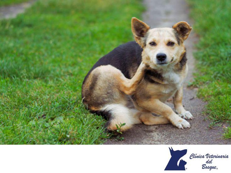 https://flic.kr/p/NERWme | Alergia por pulgas. CLÍNICA VETERINARIA DEL BOSQUE 3 | Alergia por pulgas. CLÍNICA VETERINARIA DEL BOSQUE. La alergia por las pulgas es una de las enfermedades de la piel más frecuentes en perros. Las pulgas pueden irritar la piel del animal y al morder al perro producir una sensación de picor intensa, provocando que tu perro se rasque intensamente o se lama. Este padecimiento se caracteriza por hacer mostrar toda la región enrojecida y con costras sangrantes. En…