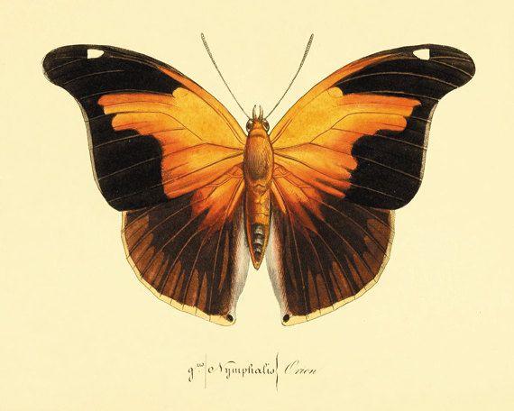 Vintage Orange Butterfly Print Nature print Natural History old prints    Vintage Butterfly Print