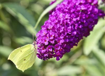 The Varieties of the Dwarf Butterfly Bush