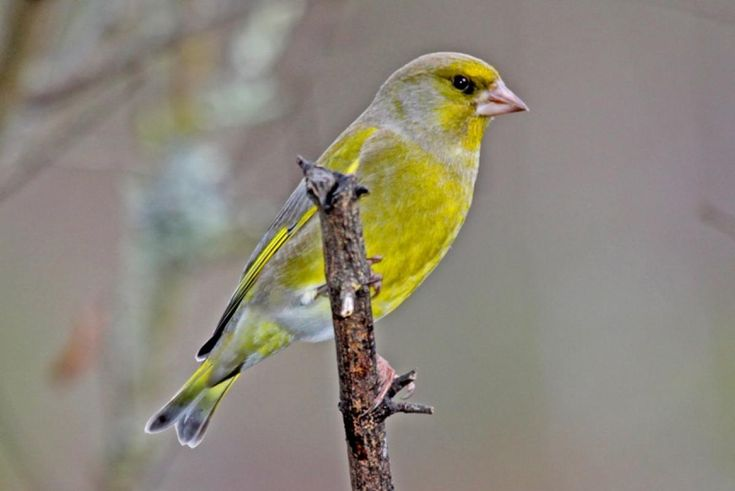 European greenfinch. Adult male. Havelock North, July 2009. Image © Dick Porter by Dick Porter