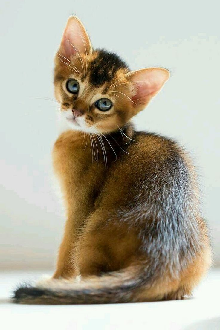 27 best =^..^= No. 1 images on Pinterest | Kitty cats, Abyssinian ...