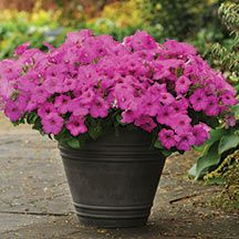 Neon Rose Easy Wave Petunia Plant- Lavender blooms with deep plum centers and veining. The Easy Waves have a more compact, mounding habit with a spread of 3 feet or less and height of 8 to 10 inches, making them an excellent choice for containers and small- space gardens. They bloom earlier than regular Waves under short day conditions.