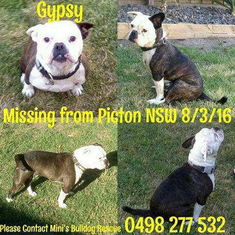 #LOST Bulldog #missing #dog, #Picton #NSW #LostDog Gypsy was in transit to Mini's #Bulldog Rescue Club and whilst stopped at the BP in Picton she slipped her collar ~5:30pm Tuesday 8th March. Unfortunately Gypsy hasn't been seen since then de...