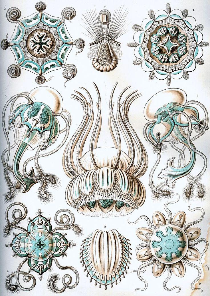 Kunstformen der Natur (1904), plate 16: Narcomedusae