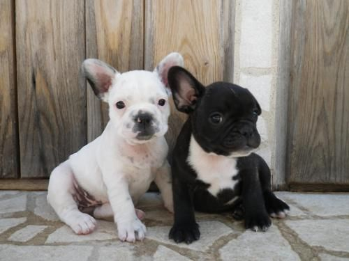 cute: Dogs Dogs, Future French, French Bulldogs, English Bulldogs, Doggies Style, Baggy Bulldogs, Posts, Future Baby, Awwww Frenchi