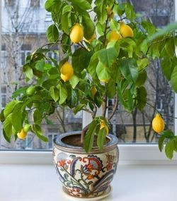 how to grow lemon seeds in a pot