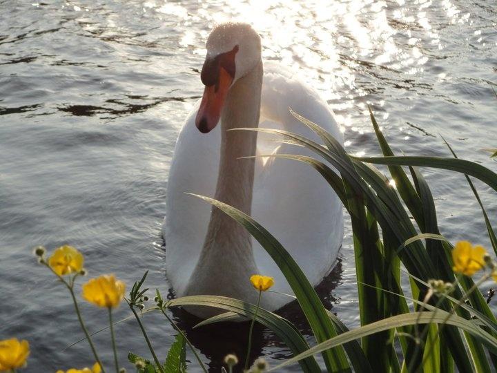 Swan at Gouda