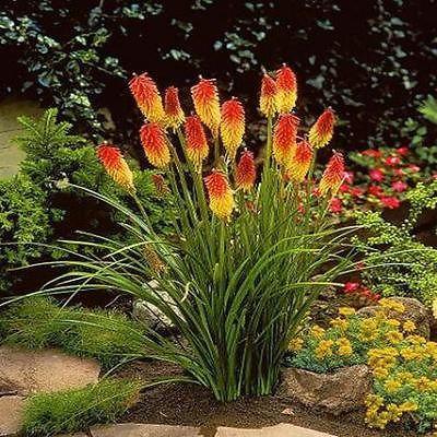 Red Hot Poker Flower Seeds (Kniphofia Caulescens) 50+Seeds - Under The Sun Seeds  - 1