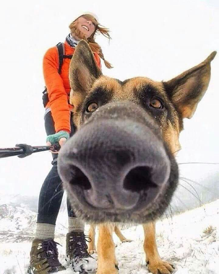 """*boop!* """"Don't mind me; just out for some winter fun with my human!"""" #dogs #doglovers #germanshepherd"""