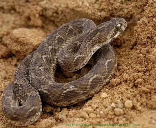 Most Poisonous Snakes in the World-Vipers