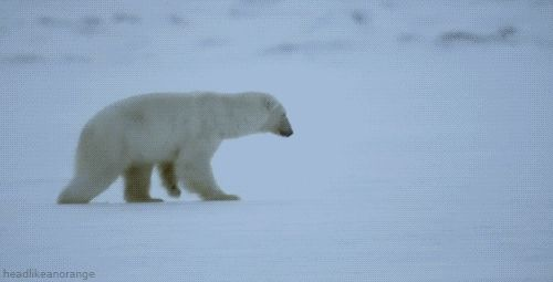 Polar bear fails to break through ice. The seals laughed and laughed. And then the bear ate them.. Ouch, bears, ice, polar bear, fail, Animals, polar bears, gif