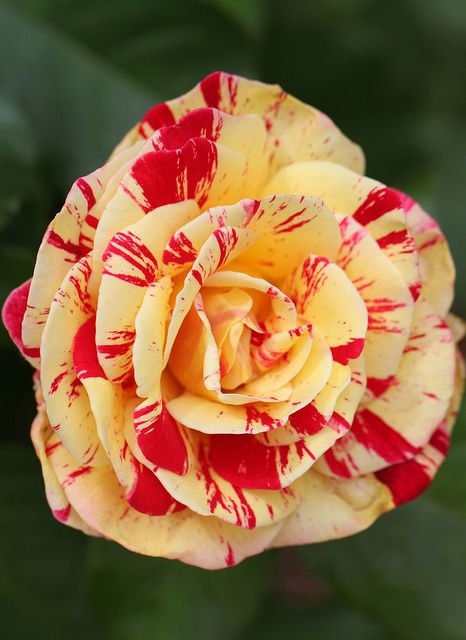 Camille Pissaro Rose: Rose Gardens, Rose Art, Royals Roses, Pissaro Rose