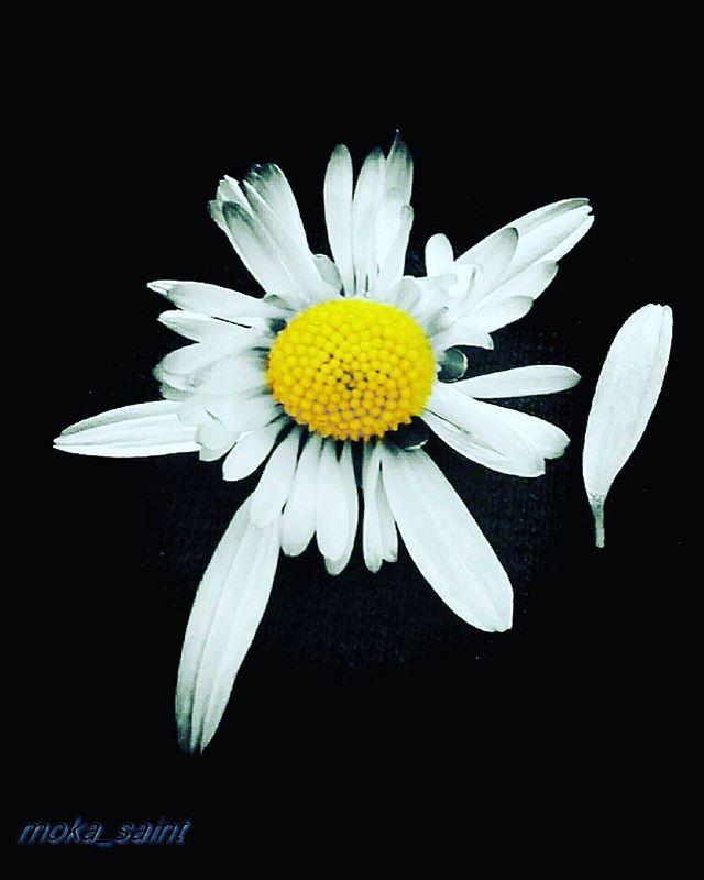 Reposting @moka_saint: Lorsque la fleur s'apprête à s'ouvrir, c'est avec une telle volonté que, malgré son apparente fragilité, aucune force extérieure ne pourra l'en détourner. Rainer Maria Rilke. #flowers  #lovenature  #loveflowers #huaweiphotography  #huaweishot #quote #fleurs  #instalimousin  #instafleurs  #instaflower #instapics  #instagoods #paquerette #hautevienne87 #natureloversgallery  #naturebeauty  #photos  #photographie  #instaphotos #flower