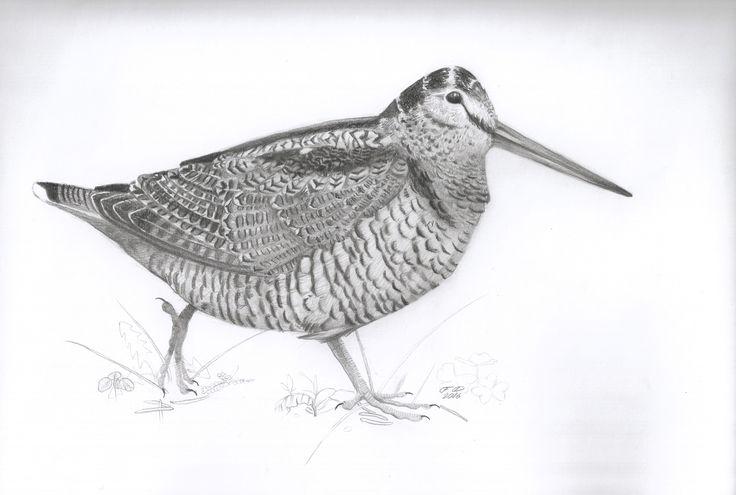 Eurasian woodcock  B/4 size , graphite pencil drawing / bird /