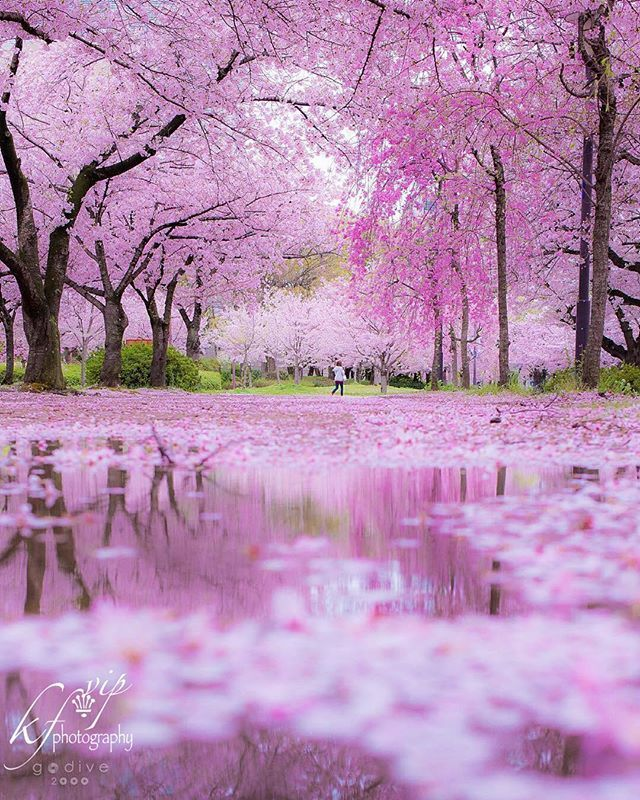 Beautiful Spring Cherry Blossoms Trees