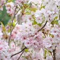Prunus 'Amanogawa',Prunus serrulata 'Amanogawa', Flowering Cherry 'Amanogawa',Japanese Flowering Cherry 'Amanogawa', Cherry 'Amanogawa', Prunus 'Erecta', White flowers, Spring Flowers, Blossom Tree, Cherry blossom tree, Ornamental Cherry