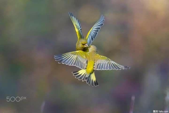 لقد طال السكوت و أنت ق ربي فهاتي فاك أ سمعه الكلام هيما عيون القلب Beautiful Birds Pet Birds Animals Beautiful