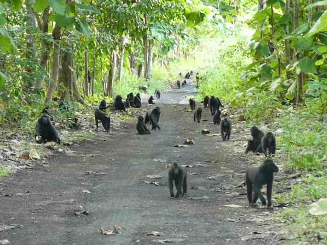 Rambo-2 group at Tangkoko Nature Reserve