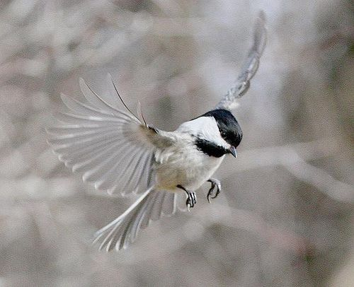 Flight pose of a Chickadee by tinyfishy, via Flickr
