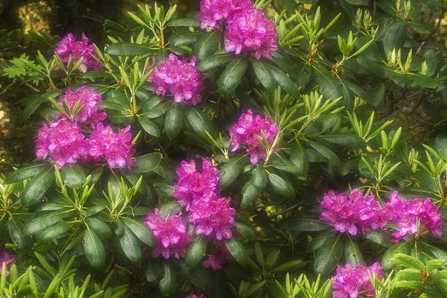 58 best azaleas images on pinterest flowering shrubs flowers and flower - Care azaleas keep years ...