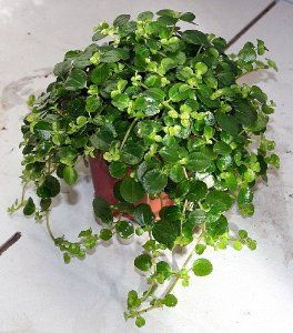"""Large Leaf Baby Tears Plant - Pilea depressa - Easy to Grow - 4"""" Pot by Hirts: Houseplants. $5.99. Correct name; Pilea depressa. Immediate shipping in a 4"""" pot.. Water when on the dry side. Prefers bright, indirect light. Also known as: Leprechaun toes, Baby toes, or Miniature peperomia. Native to the Carribean. Pilea depressa is a good choice for a hanging basket, terrarium, or small pot. Rounded medium green tiny leaves adorn this low trailing indoor plant. It prefers bright, ..."""