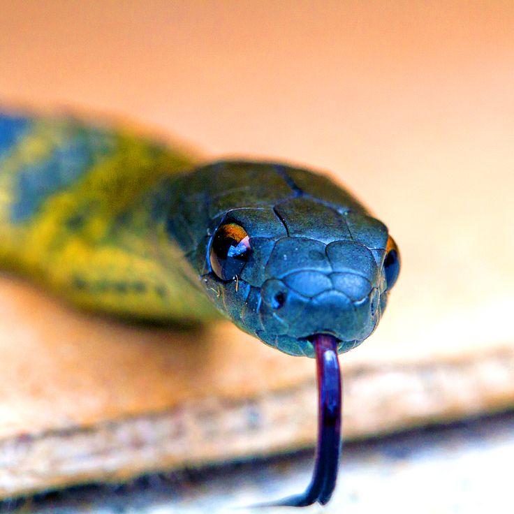 les 25 meilleures id es de la cat gorie serpent venimeux sur pinterest serpents beaux. Black Bedroom Furniture Sets. Home Design Ideas