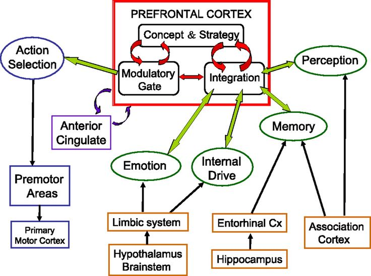 Related image Motor cortex, Emotions, Limbic system