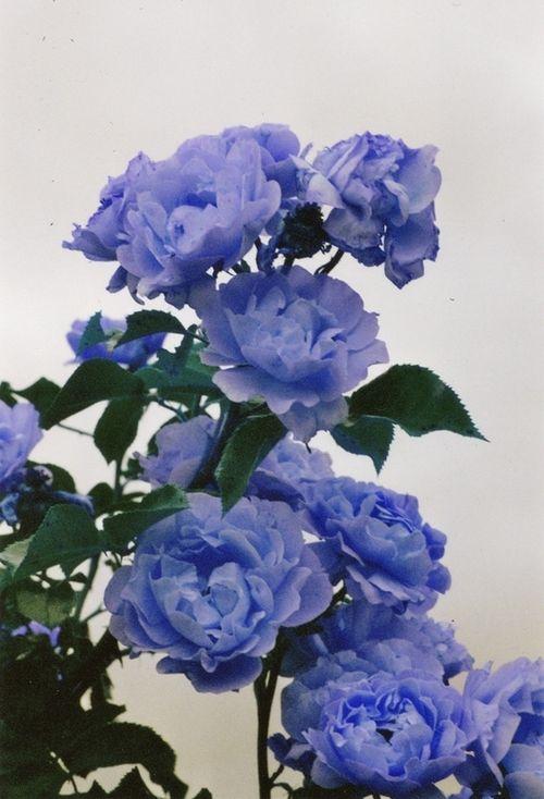 Periwinkle rose
