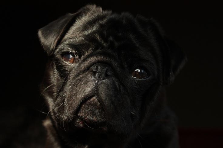 Nelson the Pug