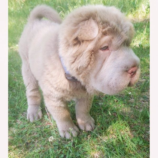 Tonkey Bear | Who is Tonkey Bear? Meet the Bear Coat Shar Pei Taking Instagram by ...