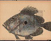 Pag.17, Pesce Sanpietro, stampa in toni acquerello, posizione pagina orizzontale.