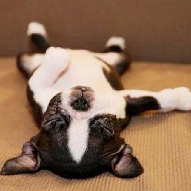 so stinkin' cute!: Boston Terriers Puppys, Sleepy Time, Dogs, Sleepy Puppys, So Cute, Pet, Funny, Naps Time, Animal