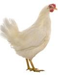 San Bartolomeo, the free-range chicken!  http://www.romainfamiglia.it/recensioni/san-bartolomeo-il-pollo-buono-davvero.html