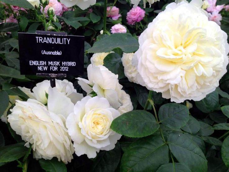 роза Tranquillity: 19 тыс изображений найдено в Яндекс.Картинках