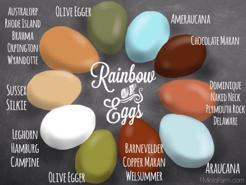 Chicken Egg Color Chart, Breed Specific