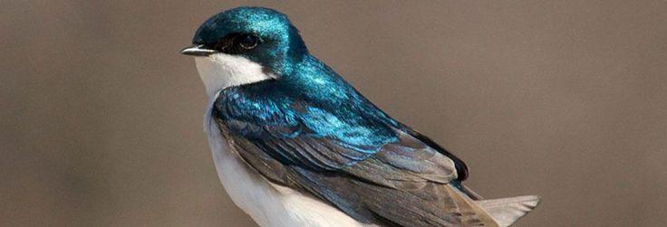 Tree Swallow Nest Box Training