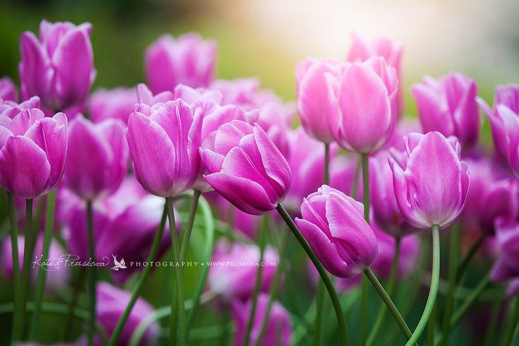Amazing violet tulips, Holland,  Katka Pruskova Photography   www.pruskova.com