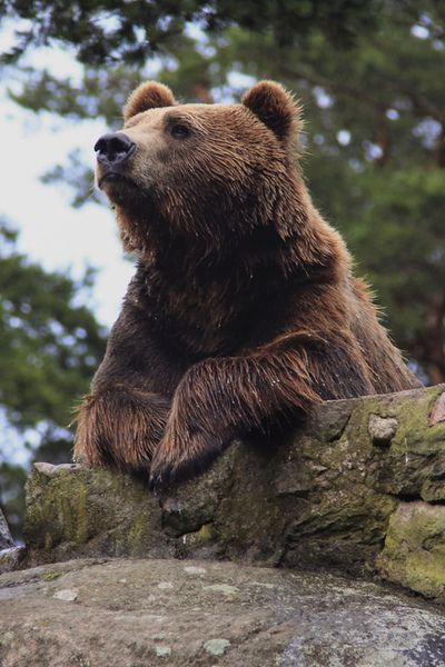 Philosophical bear contemplates the universe.